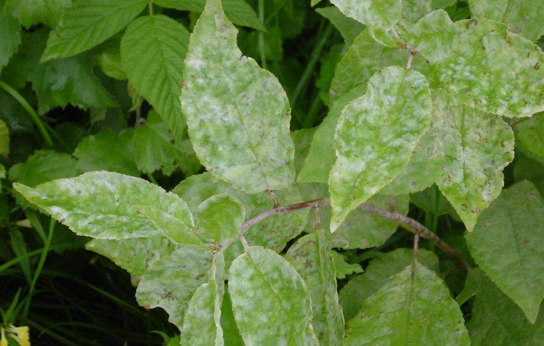 Salix Plant Diseases