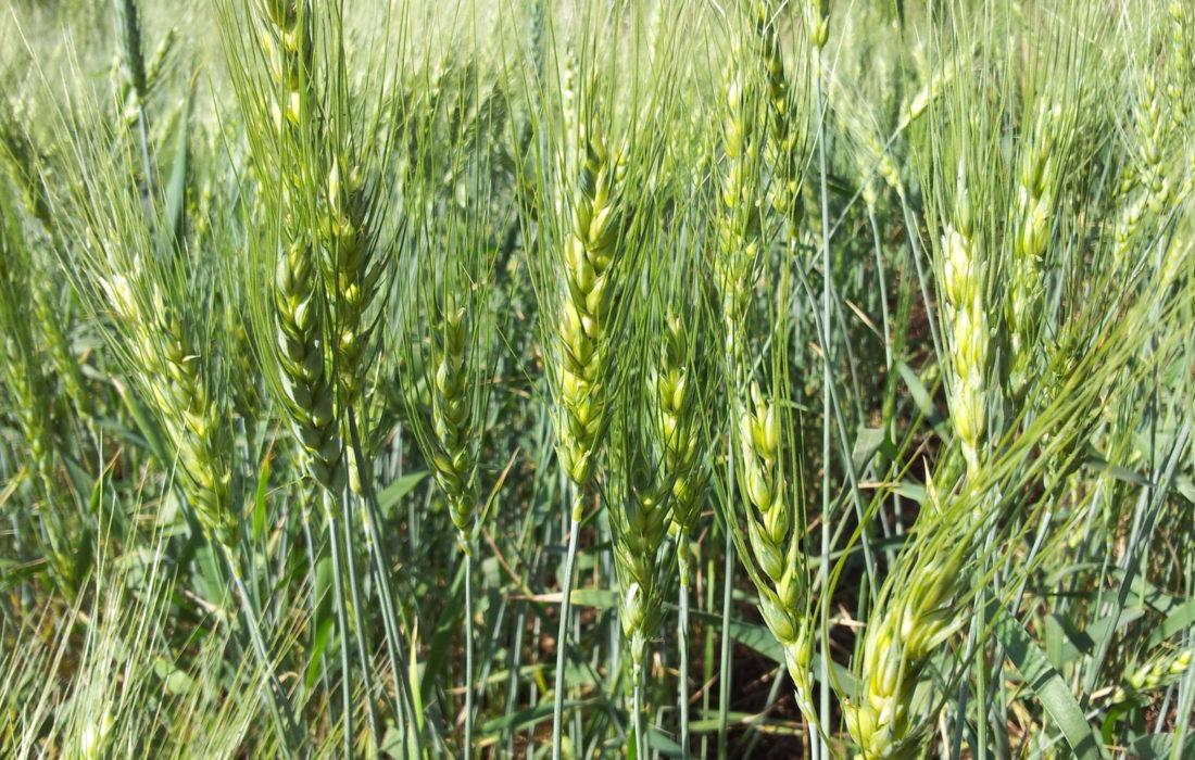 Young Wheat Crop In A Field Near Solapur Maharashtra India